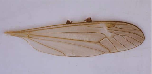 Les dos caravel·les al cantell de l'ala d'un insecte. Mides: 0,5mm. Rússia, Omsk.